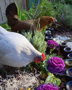 43 Healthy Herbs for Hens: the Health Benefits of Culinary Herbs