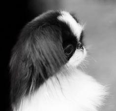 Japanese chin - Wonderful small doggies