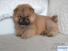 There is nothing cuter than a Chow Chow puppy