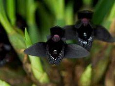 """As interessantes e raras """"Orquídeas Negras"""". - YouTube"""