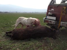 Southern Cross Catch Vest Hog Hunting, Hog Dog, Catch Dog ...