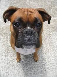 Image result for cute boxer dog