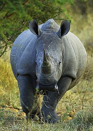 The Dirty War Against  Africa's Remaining Rhinos