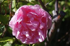 (175) The Friends of Vintage Roses