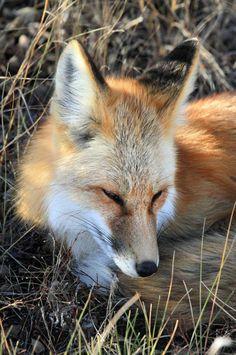 ☀sleepy fox