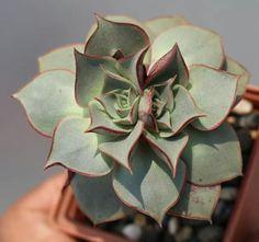 Echeveria longiflora Echeveria, Bonsai, Cactus, Gardening, Ideas, Succulents, Plants, Naturaleza, Succulent Plants