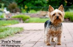 Poe's Nose Pet Photography  www.poesnose.weebly.com  Scooter the Yorkie  Yorkshire Terrier,   dog