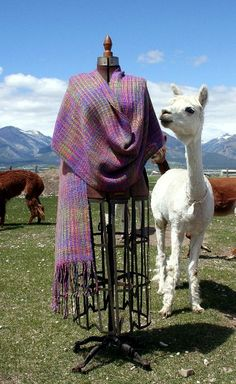Hand dyed and woven shawl with the lovely suri alpaca who donated the fiber.