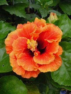 Hibiscus 'Bumble Bee'