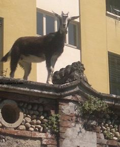 A goat on the wall near Piovene Rocchette #goatvet