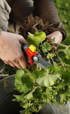 Geranien sind eigentlich mehrjährig, werden aber oft schon nach einer Gartensaison entsorgt. Durch eine Überwinterung sparen Sie sich den Neukauf im Frühling.