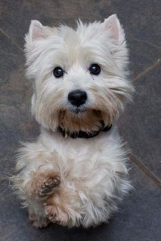Meet Karma, a Petfinder adoptable West Highland White Terrier Westie Dog   Plano, TX   Karma is a bonded pair with Boomer.Boomer wanted to tell everyone our story, but I think I have a...