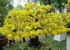 yellow flower of bonsai. Bonsai Plants, Cactus Plants, Bonsai Trees, Apricot Blossom, Plantas Bonsai, Most Beautiful Gardens, Green Art, Small Trees, Garden Spaces
