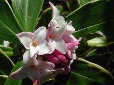 #Daphne: piccoli #arbusti dai fiori profumati e facili da coltivare!