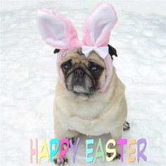 Cute Pug Happy Easter Card