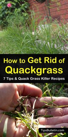garden care schedule Learn how to get rid of Quackgrass through mulch and mowing. Our guide shows you the best way to remove Quackgrass and other pesky perennials from your lawn without spreading rhizomes around and seeding more weeds. Lawn Care Schedule, Lawn Care Tips, Perennial Grasses, Perennials, Lawn Care Business, Evergreen Vines, Garden Works, Lawn Edging, Grass Seed