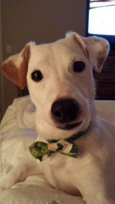 Show your support for Georgia Jack Russell Rescue, Adoption & Sanctuary by voting for Jenkins in the Wine Label Photo Contest #jackrussell #photocontest