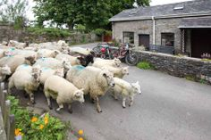 Sheep at Plas Farm, Swansea