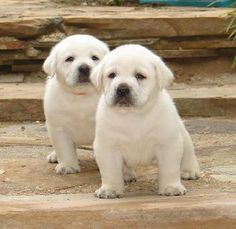 We are breeders of white labrador retrievers. We have pictures of white labs and white lab puppies. Images of white labs and white lab puppies. White Lab Puppies, Cute Puppies, Cute Dogs, Dogs And Puppies, Doggies, White Labrador, Labrador Puppies, Pyrenees Puppies, Corgi Puppies