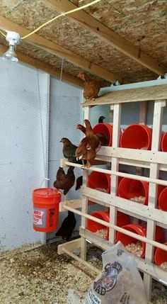 Nesting chickens in buckets