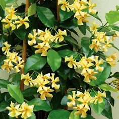 Trachelospermum j. Star of Toscane(Star Jasmine - Yellow)    Fragrant golden yellow star flowers shine against the dark evergreen foliage. Excellent in containers and garden beds. Full sun well draining soil. Zone 8. Mulch in winter.  Plant CharacteristicEvergreen  Exposurepart sun or shade  ColorYellow  Height8ft +  Bloom TimeJune, July, August, September  HardinessZone 8  CategoryVines  Sub Category  Available