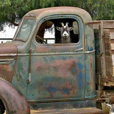 A goat and a beautiful old truck. Life in the country. Yes.