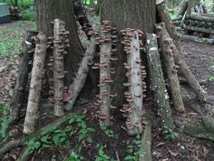 growing mushrooms on logs