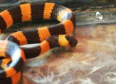 Culebra caracolera de oriente en Coatzacoalcos Veracruz México 🐍 serpientes