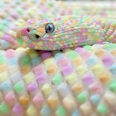 Albino snake looks like candy. This would be my snake Rare Animals, Funny Animals, Beautiful Creatures, Animals Beautiful, Pretty Animals, Rainbow Snake, Rainbow Corn, Rainbow Pastel, Rainbow Serpent