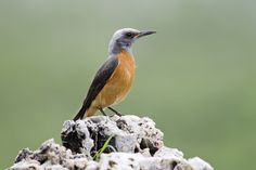 Short-Toed Rock Thrush (photo by Martin Benadie). This bird can be seen on our Southern African birding tours. Visit www.birdingecotours.co.za for more info.