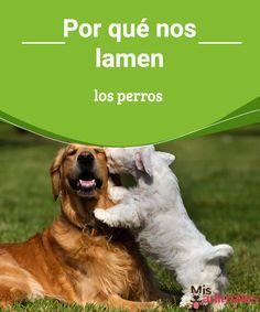 Por qué nos lamen los perros  ;¡No me lamas. ¿Cuántas veces le has dado esa orden a tu perro? Y es que por más que intentamos que no lo hagan, ellos siguen y siguen. ¿Has pensado que quizá tienen una razón para hacerlo? Pues la tienen, no solo una, sino varias. Estamos seguros de que te gustará conocerlas y de que más de una quizá te sorprenda. #lamer #perros #razón #curiosidades