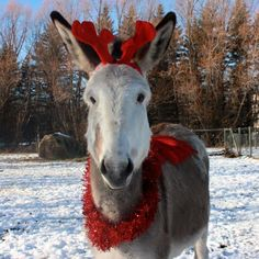 Donkey all decked out for Christmas !