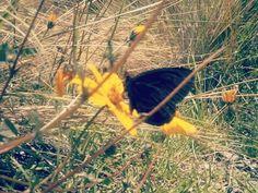 Mariposa negra.