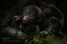 Mountain Gorillas by seancrane  http://ift.tt/2ojKtPW
