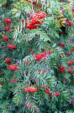 Rowan tree | da jaxslade
