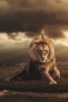 Lion #BigCatFamily