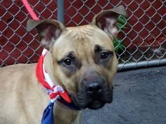 TO BE DESTROYED - 08/05/13 Manhattan Center -P  My name is JUAN. My Animal ID # is A0973430. I am a male tan and white pit bull mix. The shelter thinks I am about 1 YEAR 1 MONTH old. https://www.facebook.com/photo.php?fbid=650026955010187=a.611290788883804.1073741851.152876678058553=3