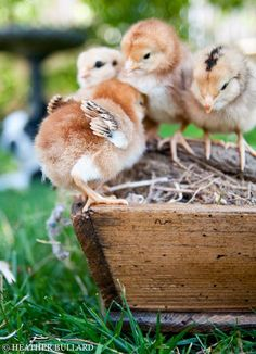 Baby Chicks, living in the country. Country Farm, Country Life, Country Living, Country Roads, Country Style, Farm Animals, Cute Animals, Gallus Gallus Domesticus, Cutest Animals