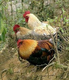 Beautiful chickens on a hillside. Beautiful Chickens, Beautiful Birds, Gallus Gallus Domesticus, Hen Chicken, Chicken Coops, Chickens And Roosters, Fancy Chickens, Hens And Chicks, Chicken Breeds
