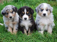Rules of the Jungle: Australian shepherd puppies