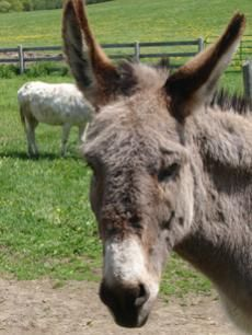 Sponsoring a donkey, mule, or hinny here at the Donkey Sanctuary of Canada will help to provide support for animals here at the Sanctuary. Farm Animals, Animals And Pets, Dont Break My Heart, A Donkey, Hee Haw, Animal Antics, Cute Little Things, Craft Activities For Kids, My Heart Is Breaking