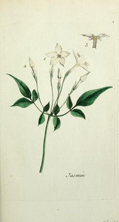 Jasmine (Jasminum officinale). Plate from 'Flora Parisiensis.'  Author Pierre Buillard. Published 1776 by P.F. Didot archive.org