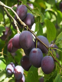 How to plant, care for, and harvest your plums! Includes links for delicious plum recipes, brought to you by the Old Farmer's Almanac!