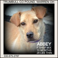 Abbey IN FOSTER TO ADOPT is an adoptable Shepherd Dog in Warren, OH. Abbey is a very sweet little girl.....extremely thin....about 10 months old, and weighing only 28 lbs.  Available 9.20.13. IN FOSTE...