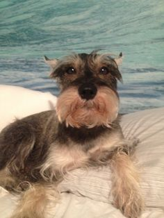 Aww how can you not love this sweet and adorable little mini schnauzer, the look on his face is priceless