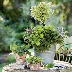 Update a container with the elegant twist of an herb topiary. This galvanized pail contains sage, thyme, oregano, and three kinds of basil. (Southern Living)