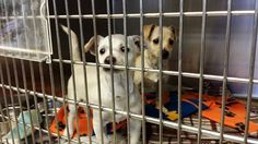**PUPPY ALERT**These 2 beautiful boys are just 2 months old and they are in the medical building hoping someone will take them home. Please SHARE, they are adorable and need some help. Thanks!  #A4817407 and #A4817408 I'm an approximately 3 month old male chihuahua sh. I am not yet neutered. I have been at the Carson Animal Care Center since April 12, 2015. I will be available on April 17, 2015. You can visit me at my temporary home at C407.