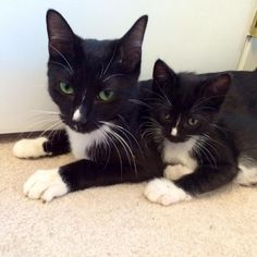 15 adorable adult cats with their insanely cute mini-me counterparts I can haz mini me?