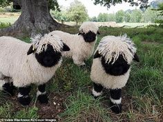 "It's hard to imagine that these Sheep, called the ""Valais Blacknose Sheep"" are actually real because they look like they could be stuffed animals. Farm Animals, Animals And Pets, Funny Animals, Cute Animals, Wild Animals, Valais Blacknose Sheep, Sheep Breeds, Cute Sheep, Funny Sheep"