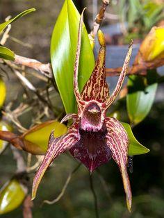 Dendrobium (epigeneium) amplum